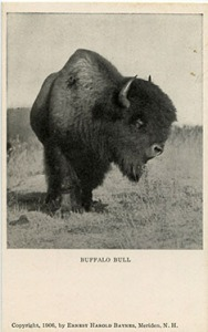 Baynes buffalo